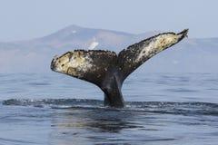 Замкните горбатый кита который ныряет в воду на предпосылке o Стоковая Фотография RF