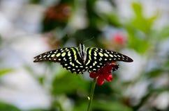 Замкнутая бабочка Джэй на заводе гераниума Стоковое Фото