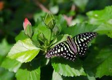 Замкнутая бабочка Джэй на заводе гибискуса Стоковое Изображение