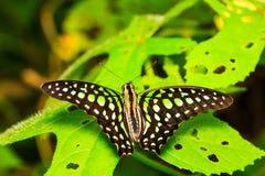 Замкнутая бабочка Джэй отдыхая на заводе Стоковая Фотография RF
