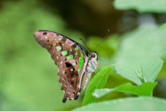 Замкнутая бабочка Джэй Стоковая Фотография