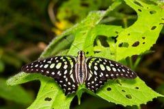 Замкнутая бабочка Джэй Стоковое Изображение RF