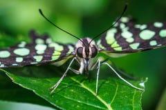 Замкнутая бабочка Джэй Стоковые Фото
