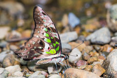 Замкнутая бабочка Джэй Стоковые Изображения