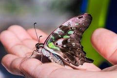 Замкнутая бабочка Джэй (agamemnon agamemnon Graphium) Стоковое Изображение RF
