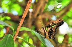 Замкнутая бабочка Джэй (agamemnon Graphium) на лист Стоковая Фотография RF