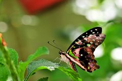 Замкнутая бабочка Джэй (agamemnon Graphium) Стоковые Фото