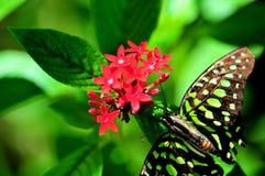 Замкнутая бабочка Джэй (agamemnon Graphium) Стоковое Изображение RF
