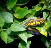 Замкнутая бабочка Джэй (agamemnon Graphium) Стоковое Изображение