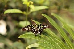 Замкнутая бабочка Джэй, agamemnon graphium Стоковое Изображение RF