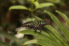 Замкнутая бабочка Джэй, agamemnon graphium Стоковые Изображения RF
