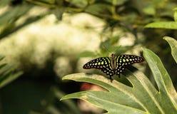 Замкнутая бабочка Джэй, agamemnon graphium Стоковая Фотография
