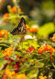 Замкнутая бабочка Джэй, agamemnon graphium Стоковое Фото