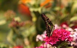 Замкнутая бабочка Джэй, agamemnon graphium Стоковые Фотографии RF