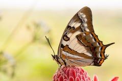 Замкнутая бабочка императора на красном цветке с copyspace Стоковые Изображения