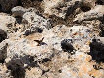 2-замкнутая бабочка паши на скалистой земле Стоковая Фотография