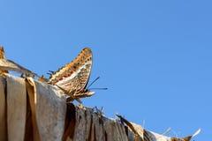 2-замкнутая бабочка паши Стоковая Фотография RF