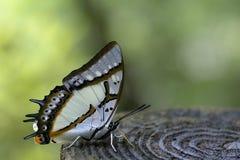 2-замкнутая бабочка Стоковая Фотография