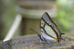 2-замкнутая бабочка Стоковые Изображения RF
