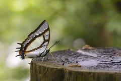 2-замкнутая бабочка Стоковые Изображения