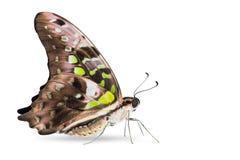 Замкнутая бабочка agamemnon Джэй Graphium Стоковые Изображения