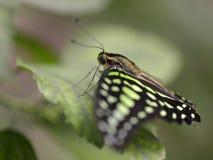 Замкнутая бабочка jay на лист Стоковое Изображение