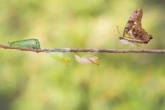 Замкнутая бабочка jay с chrysalis и гусеницей Стоковые Изображения RF