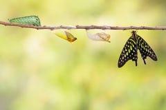 Замкнутая бабочка jay с chrysalis и гусеницей Стоковые Фото
