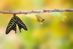 Замкнутая бабочка jay с chrysalis и зреет на хворостине Стоковые Фото