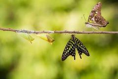 Замкнутая бабочка jay с chrysalis и зреет Стоковые Фотографии RF