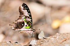 Замкнутая бабочка jay Стоковые Фото