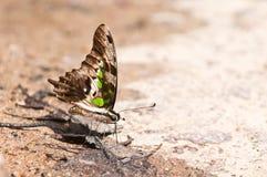 Замкнутая бабочка jay Стоковая Фотография