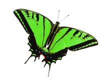 2-замкнутая бабочка swallowtail изолированная на белизне Изменение цвета к зеленому цвету лужайки Стоковое Фото