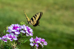 2-замкнутая бабочка Swallowtail Стоковые Фотографии RF