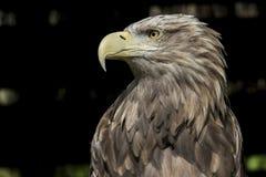 Замкнутая белизной хищная птица орла моря стоковое фото