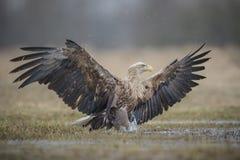 Замкнутая белизной распорка орла стоковое изображение