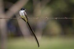 замкнутая вилка flycatcher Стоковая Фотография RF