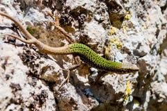 2-замкнутая зеленая ящерица Стоковое Изображение