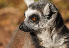 Замкнутая кольцом обезьяна lemur Стоковое Изображение RF