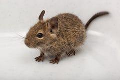 замкнутая крыса octodon degus degu щетки общяя Стоковые Фото