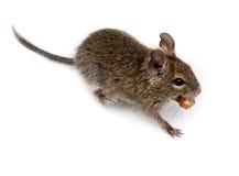 замкнутая крыса octodon degus degu щетки общяя Стоковое Фото