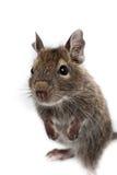 замкнутая крыса octodon degus degu щетки общяя Стоковые Фотографии RF