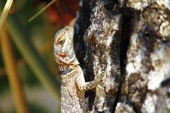Замкнутая Мадагаскара колючая или Collared ящерица (cuvieri Oplurus) Стоковое Изображение RF