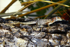 Замкнутая Мадагаскара колючая или Collared ящерица (cuvieri Oplurus) Стоковая Фотография