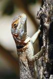 Замкнутая Мадагаскара колючая или Collared ящерица (cuvieri Oplurus) Стоковые Изображения