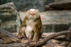 замкнутая свинья macaque стоковое изображение rf