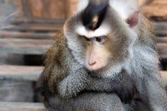 замкнутая свинья macaque стоковая фотография rf