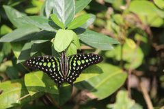 Замкнутая семья Swallowtail бабочки Джэй Стоковая Фотография RF
