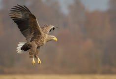 Замкнутое белизной замедление передачи посадки орла стоковое фото rf