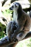замкнутое кольцо мати lemur ребенка выпивая Стоковые Фотографии RF